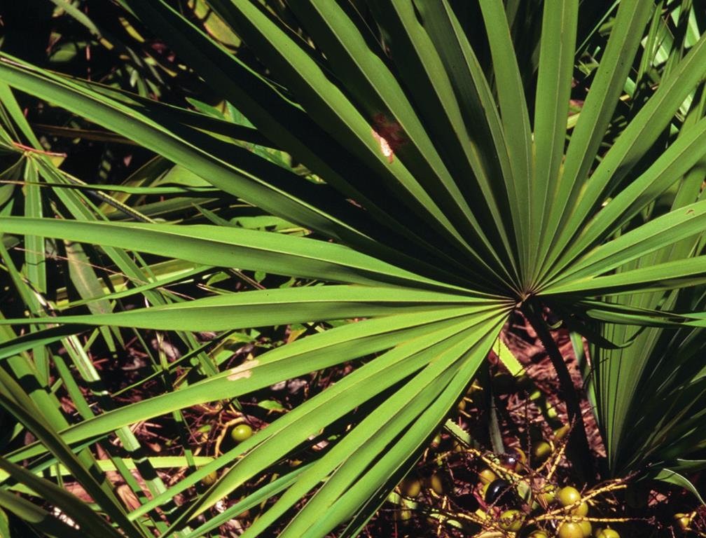 Saw Palmetto Serenoa Repens