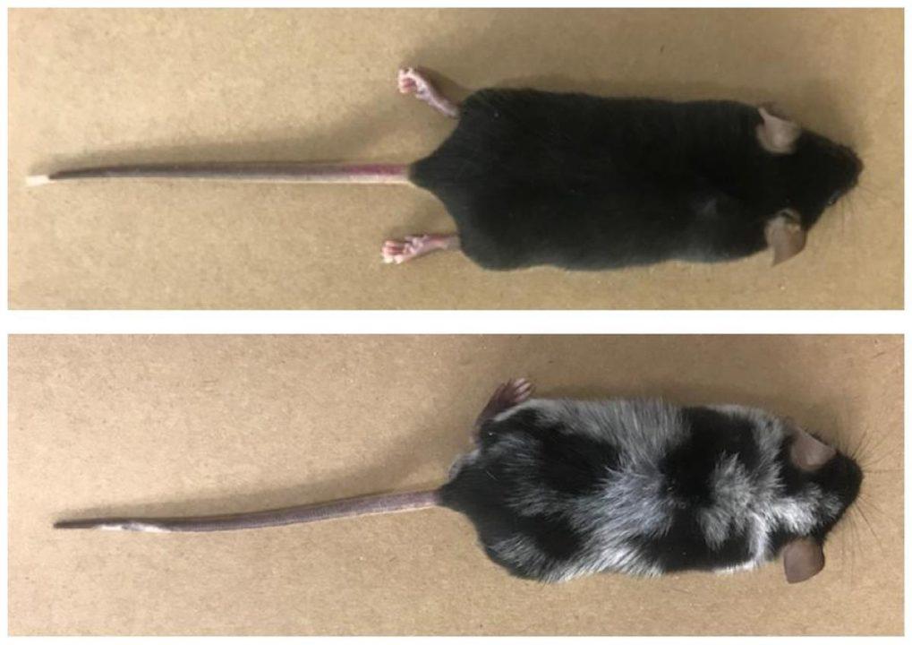 Estudo sobre estresse e cabelos brancos em ratos